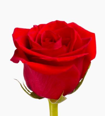 Rosas helina chocolater a y pasteler a - Fotos de rosas de colores ...